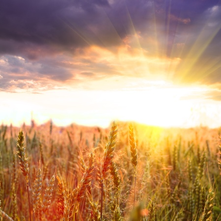 Wheat field in the evening glow and dramatic sky with sundown Stock Photo - 10432498