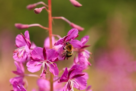 Sally-bloom at the forest edge close up. Lat. Chamerion angustifolium. Bee inflight. photo