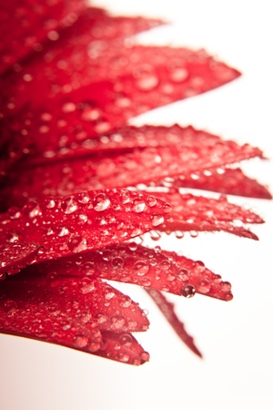 Red gerbera with waterdrops isolated on white closeup photo