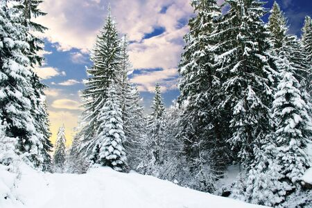 Winter fir-tree forest with snow covered trees and path photo