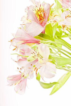 Pink alstroemeria isolated on white background photo