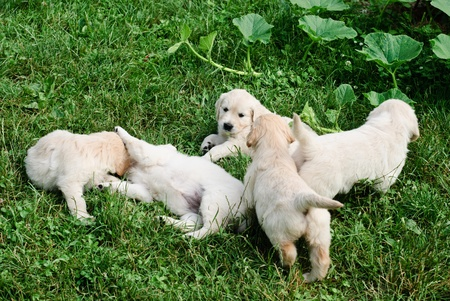 Five golden retrievers puppies are playing in the grass photo