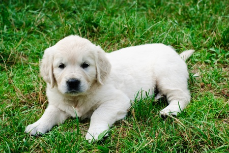 Golden retriever puppy is sitting in the grass photo