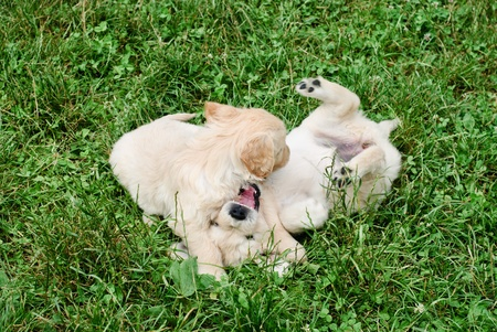 Golden retrievers puppies are playing in the grass photo
