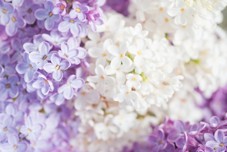 syringa: close up beautiful lilac background with light violet and white flowers