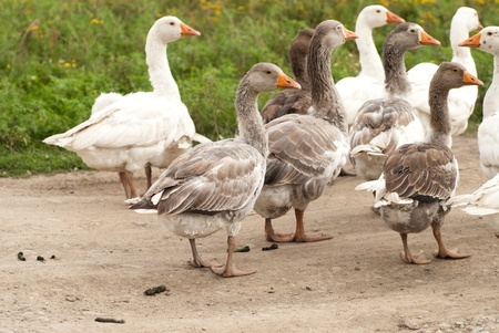 Gooses are grazing on the grass, agriculture Stock Photo - 12030971
