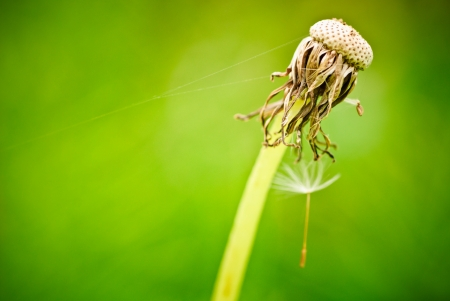 Lonely dandelion seed closeup outdoor