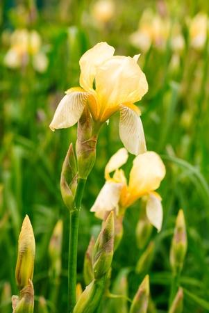 blueflag: Amarillo irisis, el crecimiento superficial de profundidad de campo, en el campo Foto de archivo