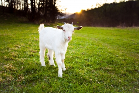 caprine: Goatling is grazing on the meadow