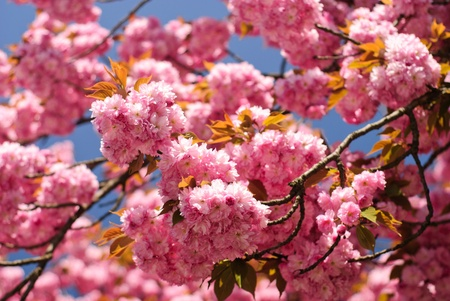 Sakura blooming tree in spring. Shallow DOF photo