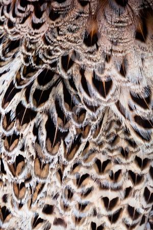 pluma de pavo real: La textura de las plumas del ala de halcón. Foto de archivo