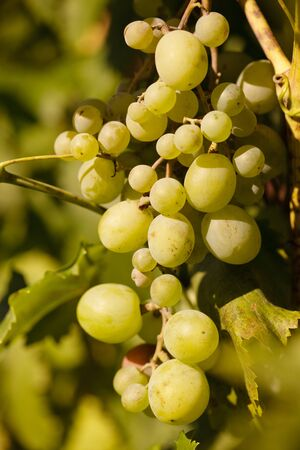 Bunch of grapes on backlight of evening glow photo