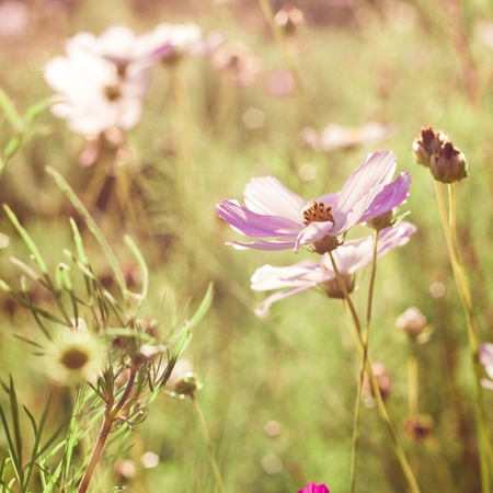 Different pink cosmos flowers closeup photo