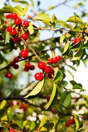 Cherry fruits on branch close up in orchard Stock Photo - 12478985