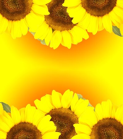 Sunflower with green leaves  on gradient background photo