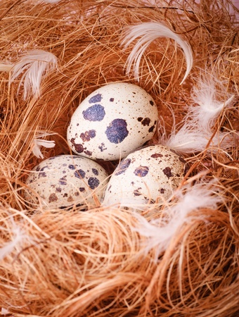 Quails eggs in the nest closeup photo