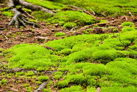 Green forest with old trees with lichen and moss photo