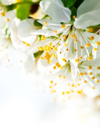 plum blossom: Beautiful spring bokeh for design with copyspace