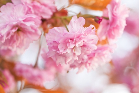 Sakura blooming branch closeup with copy-space Stock Photo - 13331656