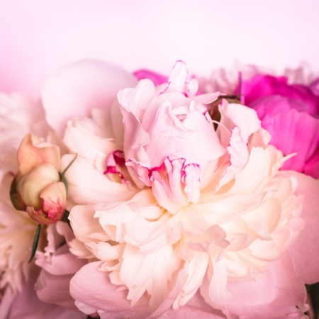 White and pink peonies on soft background for design photo