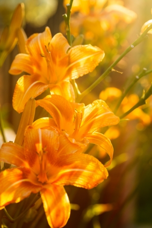 Beautiful tiger lily in the backlight photo