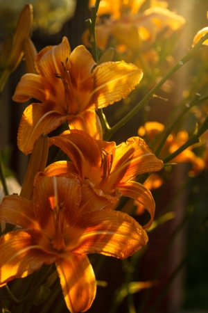tiger lily: Beautiful tiger lily in the backlight