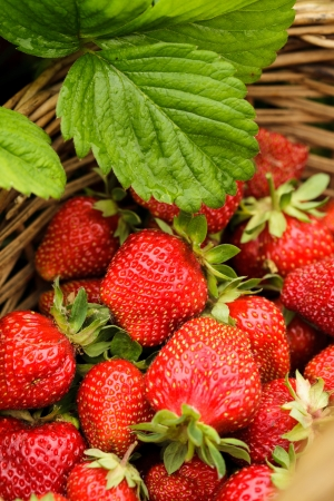 Strawberry berries closeup as a background in basket photo