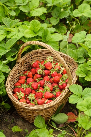 Strawberries in a basket in the garden outdoors photo