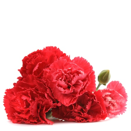 Red carnation flowers isolated on white background photo