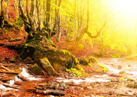 rill: Fall forest with old big tree near streamlet