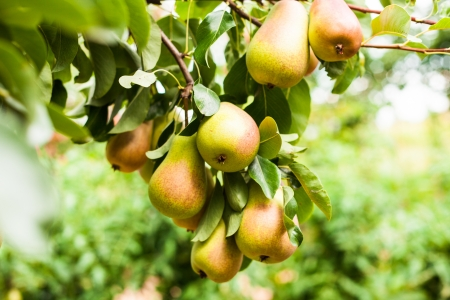 yeloow: Yeloow pears on a tree, crop on a branch closeup