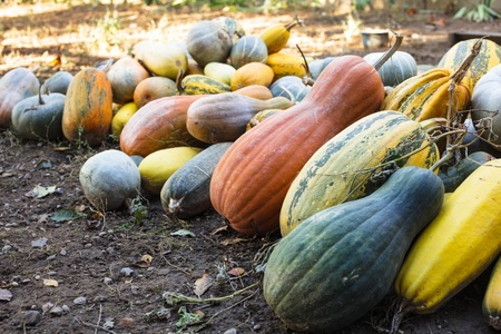 Pumpkin harvesting on the field, different types of pumpkin Stock Photo - 15758954