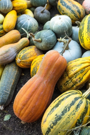 Pumpkin harvesting on the field, different types of pumpkin photo