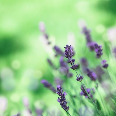 Field of lavender flower closeup on blurred background photo
