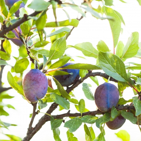 Ripe purple plum on a branch with leaf closeup photo