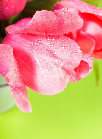 Pink tulips with waterdrops closeup photo