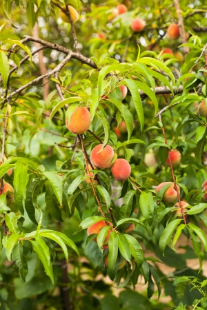 nectarine: Ripe peaches fruits on a branch in orchard
