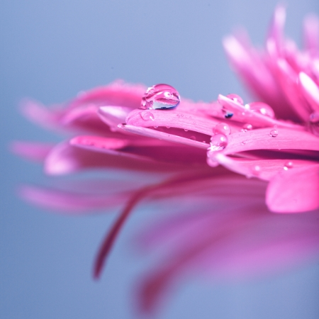Water drop on the pink flower over blue background Stock Photo