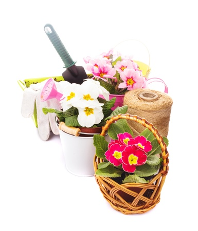 Gardening: primula flowers with gloves,  trowel and watering can on white photo