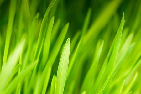 Green grass close up as a bacgkround photo
