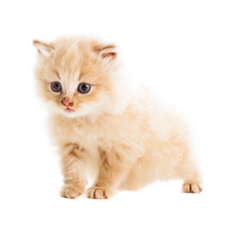 one beige kitten snatd on white background photo