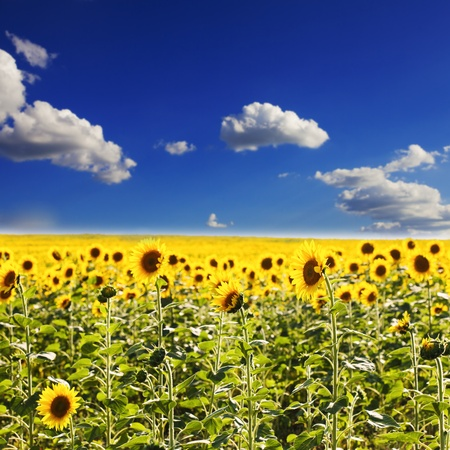 sunflower field in the summer and clear blue sky photo