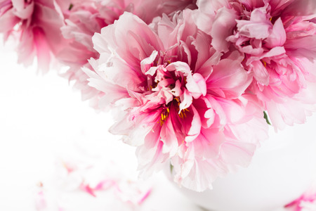 Pink peonies in vase isolated on white photo