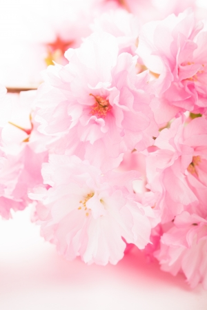 Pink flowers of sakura close up on white photo