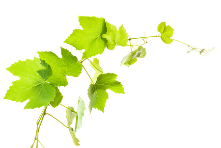 白地では、分離されたブドウの葉をクローズ アップ 写真素材