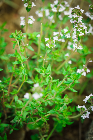 Thyme blossom in the garden close up photo