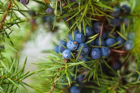 enebro: Juniper en el arbusto. Cierre de bayas en el bosque