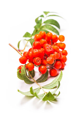 Rowan berries on a twig with leaves isolated on white photo