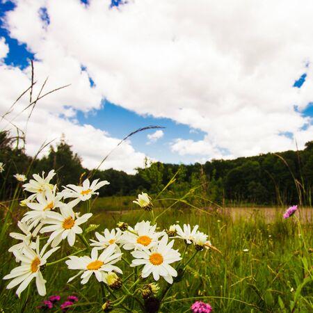 ox eye: Meadow and blue sky Stock Photo