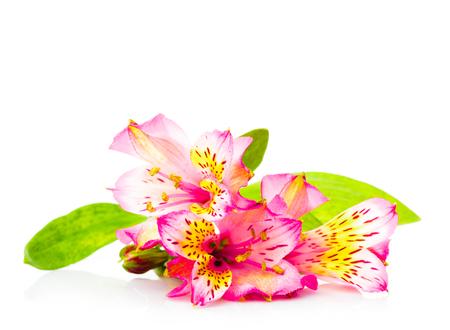 alstroemeria: Pink alstroemeria isolated